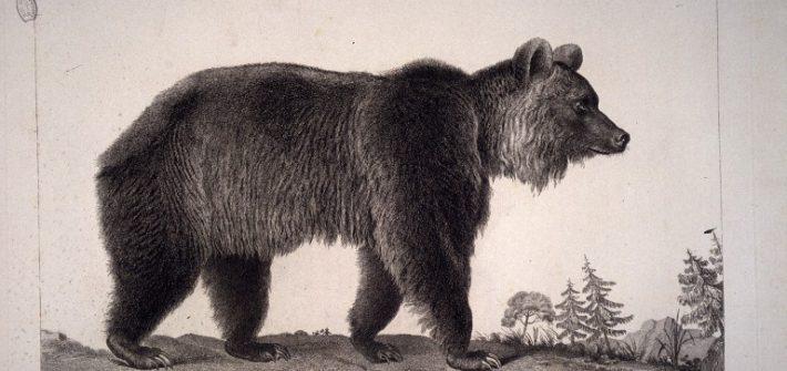 Ursus arctos. L ours brun